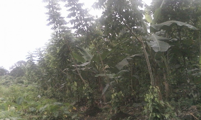 Smallholders in Cameroon abandon main cash crops  for Penja Pepper due to poor climate
