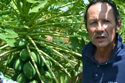New high yielding pawpaw variety from Cuba finds its way to Kenya