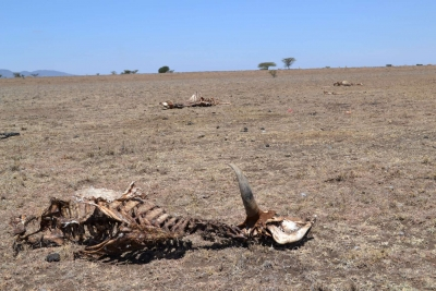 Insurance dividend for Kenya's livestock farmers amid drought