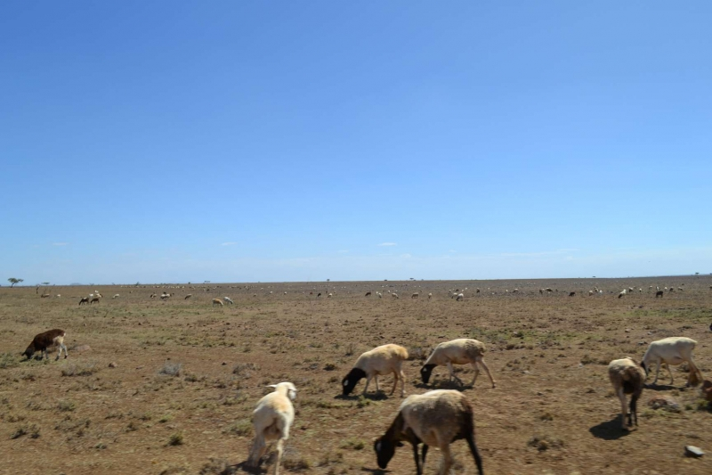 Pastoralists in Kenya abandon cattle to settle for sheep and goat amid rising temperatures