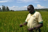 Ugandan farmers abandon maize for rice in response to changing weather patterns